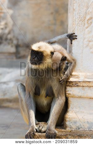 Mother of gray langur with small baby. India temple, Karnataka. Hanuman langurs