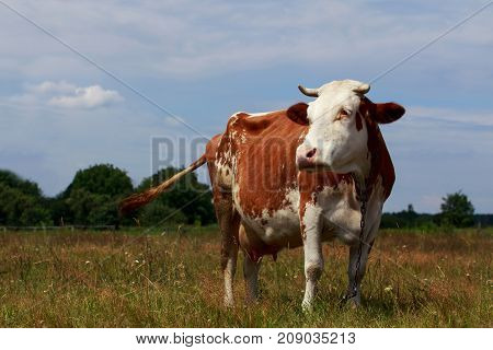 The spotted cow on a green meadow