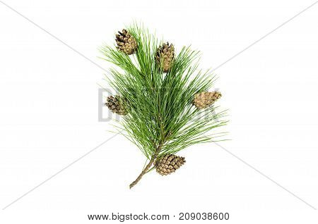 Fir tree branches with cones isolated on white background. Christmas pine tree branches decoration isolated.