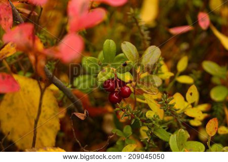 ripe cowberry on the bush on the forest background