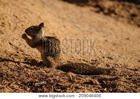 Close-up of a California Ground Squirrel in Joshua Tree National Park