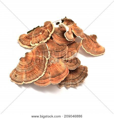 trametes versicolor mushroom isolated on white background