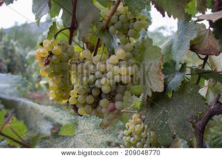 White grapes hanging on a bush in a sunny beautiful day. Vineyard view with big White grape growing. Ripe grape growing at wine fields. Natural grapevine