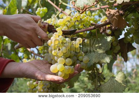 Ripe wine grapes and secateurs in farmer's hands. Yellow-green bunch at the sunny ecological vineyards during harvest. Hand picking grapes on the vine