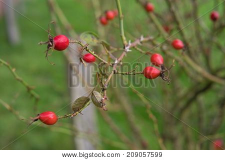 red rose hips on a bush in a park