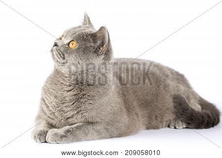 British cat with amber eyes. The cat looks up. Cat on isolation. A cat is lying on a white background.