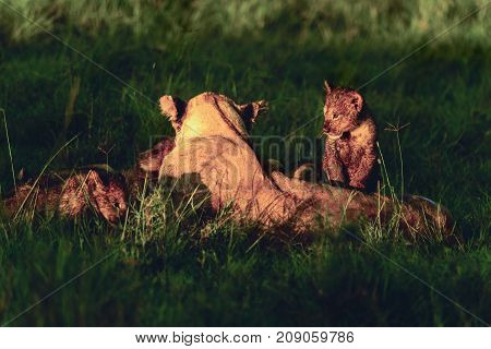 Family of lions in the grass of African savanna Kenya