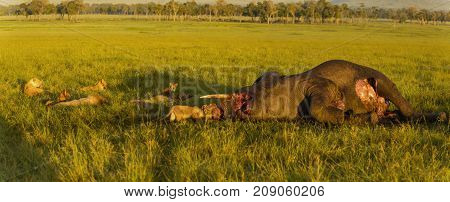 a lions family devouring an elephant in the African savanna