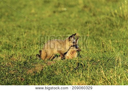 at-eared fox (Otocyon megalotis) Kalahari desert South Africa