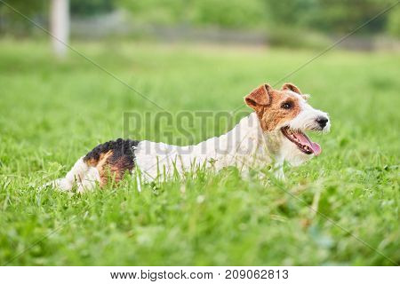 Shot of a beautiful happy and healthy fox terrier dog lying in the grass at the local park nature outdoors recreation family happiness concept.