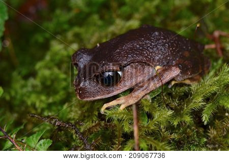 close up image of a Montane Large-eyed Litter frog