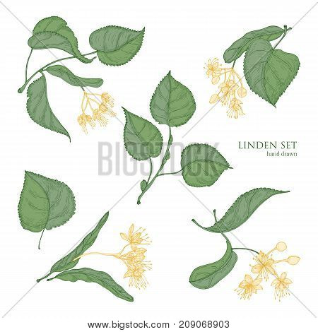 Beautiful detailed botanical drawings of linden green leaves and blooming yellow flowers. Hand drawn parts of flowering tree, view from different angles. Natural realistic vector illustration