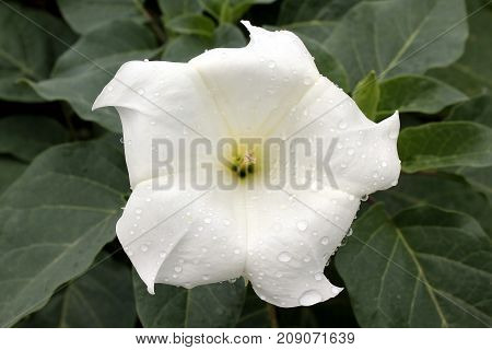 one white flower with water drops close-up