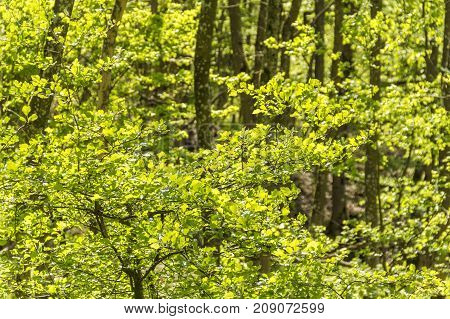 full frame forest detail including sunny illuminated fresh green leaves at spring time
