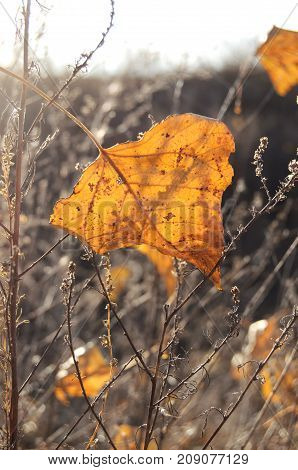 Fall Orange Poplar Leaf On The Background Of Dry Grass. Autumn Backdrop