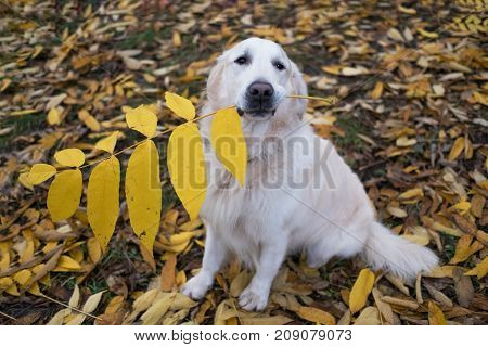 Golden retriever dog holding big yellow leaf in mouth and wait command from owner