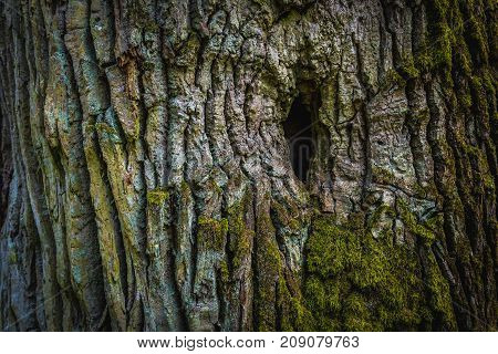Close up of more than 400 year old oak tree in forest complex called Kampinos near Warsaw Poland