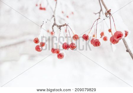 Winter background. Snow-covered bare branch of wild apple tree with small ripe red frozen fetuses and copy space.