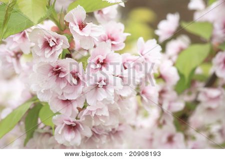 Cherry blossom, very shallow depth of field poster