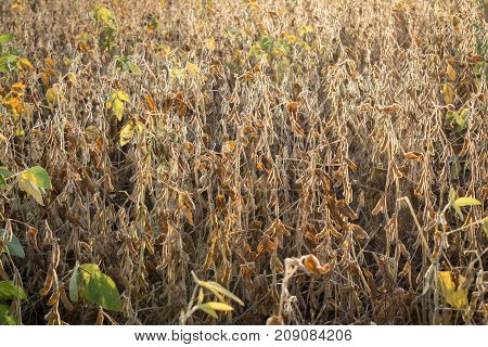 Ripe soybeans growing on the field lit with sunset