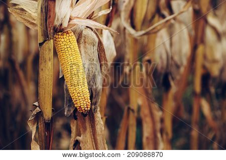 Ripe yellow ear of corn on the cob in cultivated agricultural field