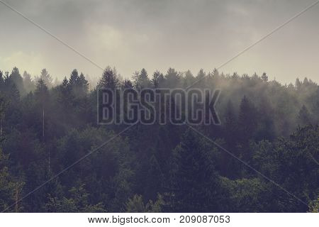 Misty forest of evergreen coniferous trees in foggy landscape