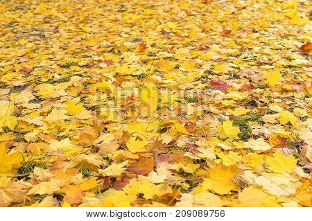 Multicolored autumn leaves hid a lawn with green grass, background, texture. Autumn maple leaf, fallen from a tree, color yellow, green, red, orange, golden, isolate on a white background