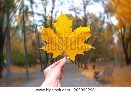 yellow maple leaf in a hand on the radial blur background.