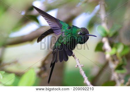 Portrait of Cuban Emerald Hummingbird Chlorostilbon ricodi