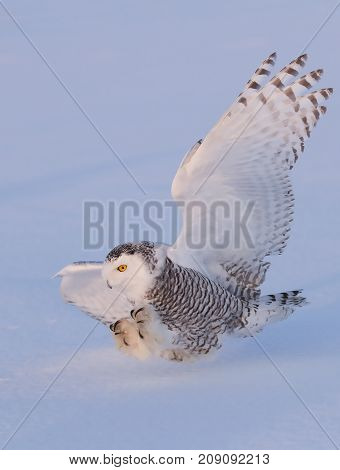 Snowy owl (Bubo scandiacus) coming in for the kill
