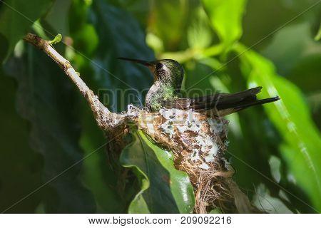 Cuban Emerald Hummingbird Chlorostilbon ricodi on the nest
