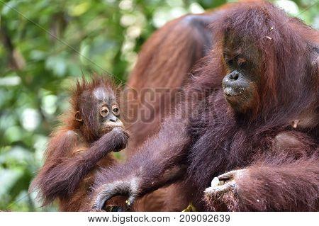 Mother orangutan and cub in a natural habitat. Bornean orangutan (Pongo pygmaeus wurmmbii) in the wild nature. Rainforest of Island Borneo. Indonesia.