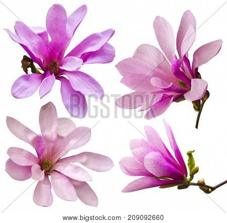 decoration of few magnolia flowers. pink magnolia flower isolated on white background. Magnolia. Magnolia flower