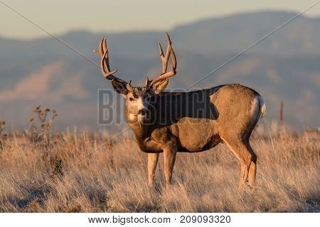 Mule Deer Buck in a field of tall grass at sunrise