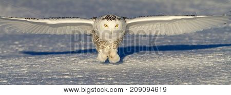Snowy owl (Bubo scandiacus) comes in for the kill on an open snowy field