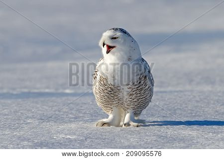Snowy owl (Bubo scandiacus) lets out a call on snow covered field