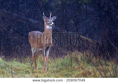 A young white-tailed deer buck in snowfall