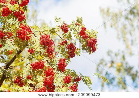 Rowan berries of an European mountain ash or Sorbus aucuparia in latin
