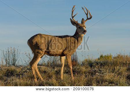 Mule Deer buck on the Colorado Prairie