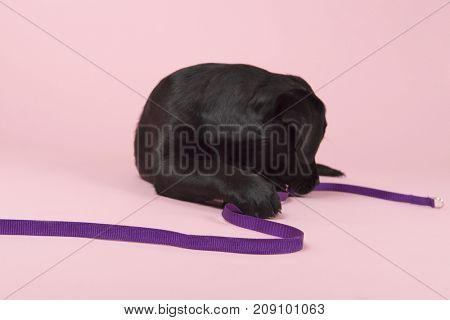 Cute little Chocolate Labrador puppy with leash on pink background