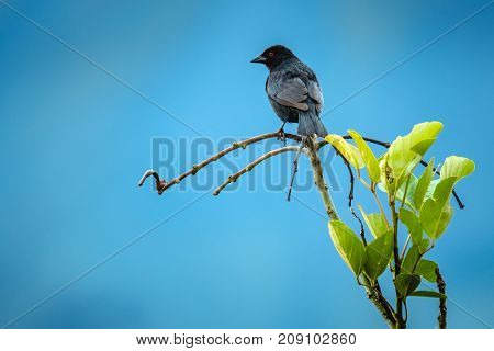 Tropical bird of Costa Rica on the branch with blue sky on the background