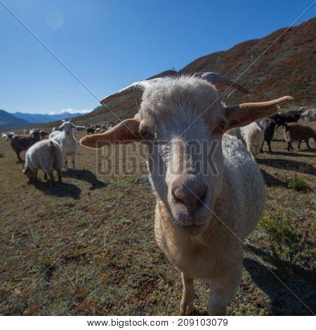 Goats graze in Altai mountains, Russia.