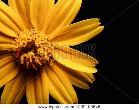 High angle and close up image of yellow daisy flower isolate on black background with copy space High contrast