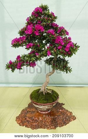 Kyoto, Japan - May 21, 2017: Pink flowering azalea bonsai tree in a pot in the Kyoto botanical garden