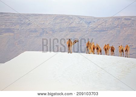 Camels in the white sand dunes