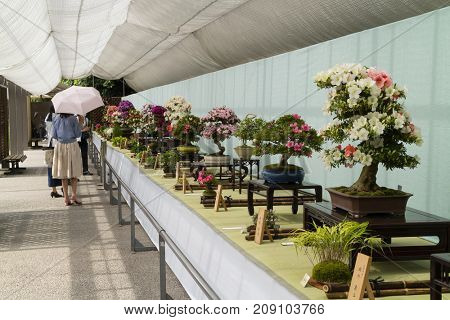 Kyoto, Japan - May 21, 2017:   Exhibition of flowering bonsai trees in a pot at the Kyoto botanical garden