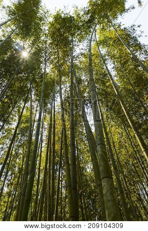 Kyoto, Japan - May 20, 2017: Tall bamboo forests at Arashiyama Park in Kyoto Japan
