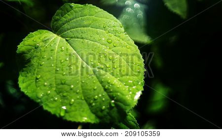 green leaf with water drops in summer in the garden black background