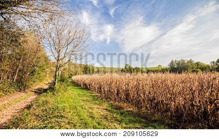 Agricultural landscape. Field of corn ready for harvest. Trees sky and country road.