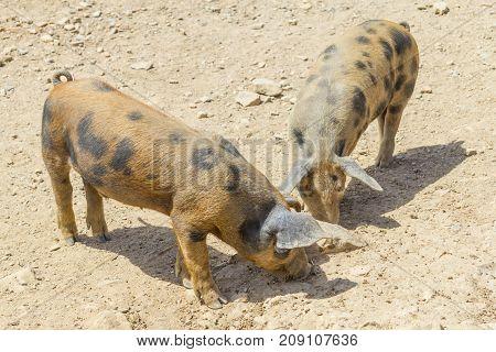Two pigs in a farm in Aljezur Algarve Portugal